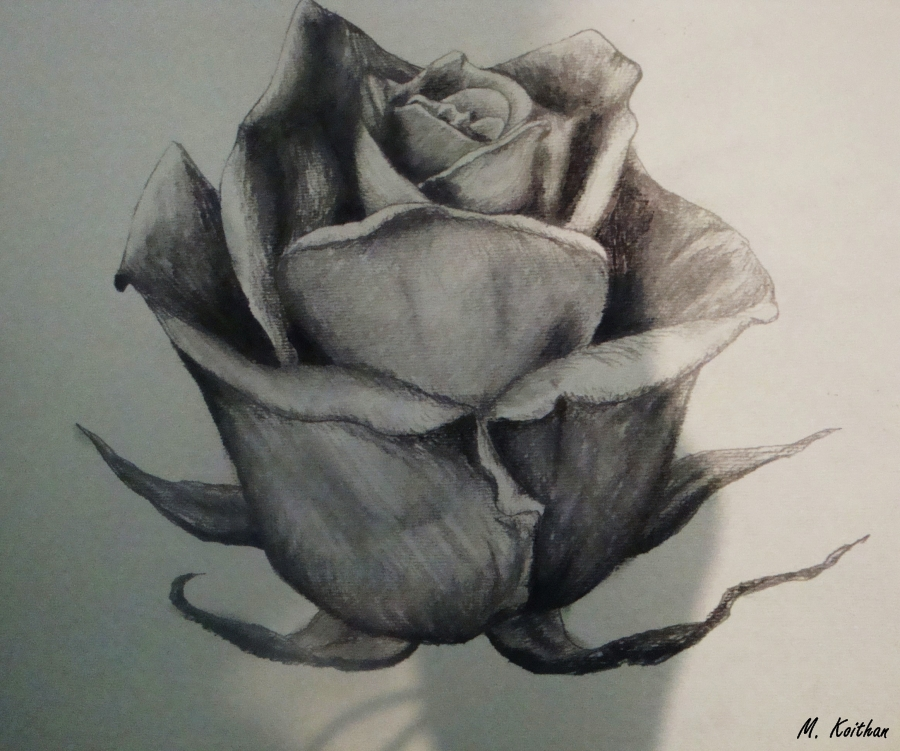 Rose Drawing by xdrawingsx on DeviantArt How To Draw 3d Rose Queen Butterfly Vs Monarch