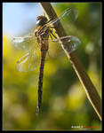 Odonata by Arnold-d