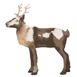 Reindeer - Pied