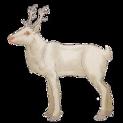 Reindeer - Albino