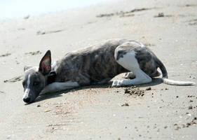 Puppy Fiebe at the beach by DobesMom