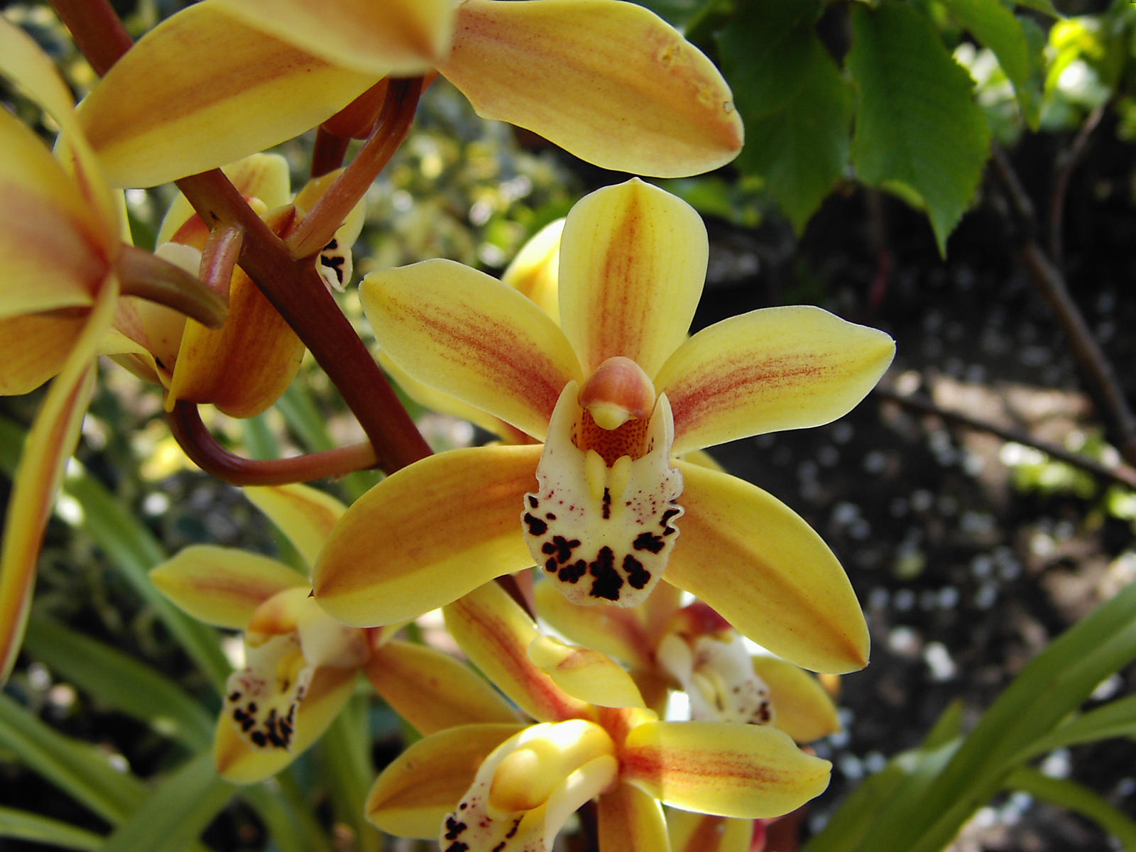 Cymbidium flowers by GrahamSym