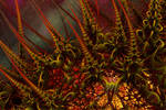 Firethorns