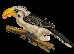 Eastern Yellow-billed Hornbill