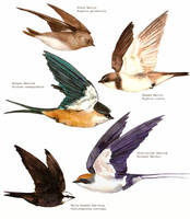 African Martins ans Swallows by Nachiii