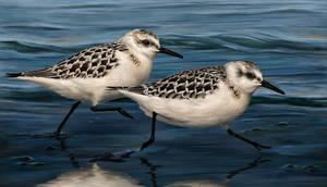 Sanderlings by Nachiii