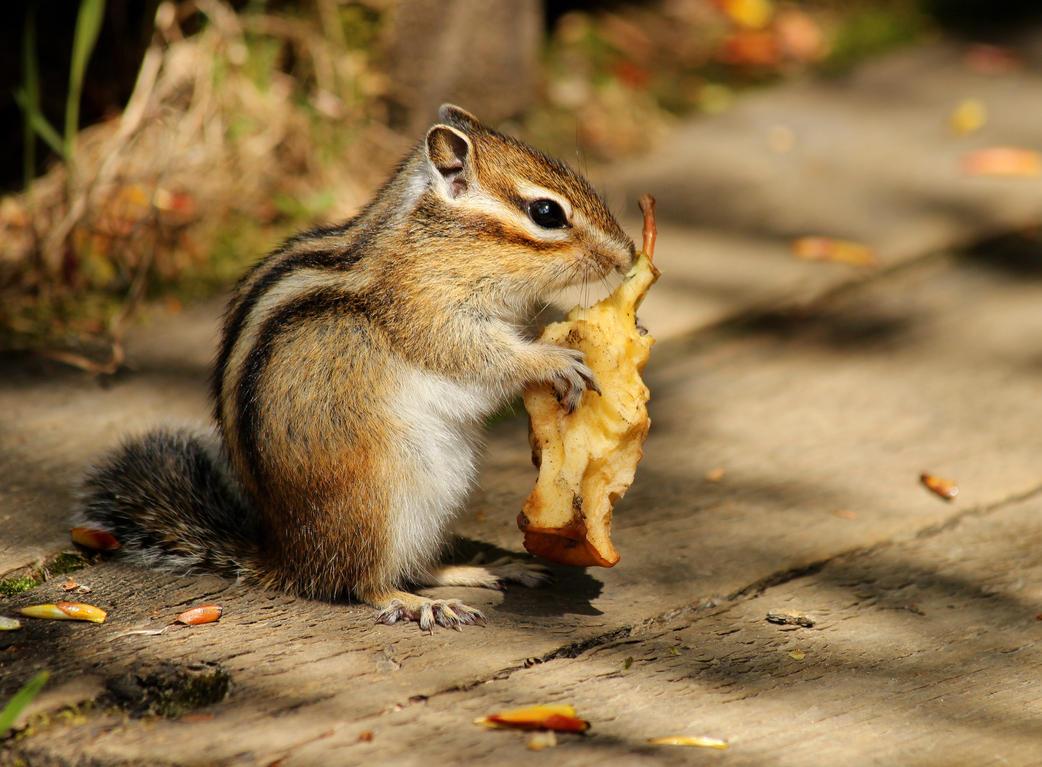 Siberian Chipmunk By Nachiii On Deviantart