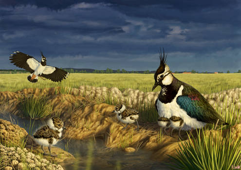 Lapwing Family