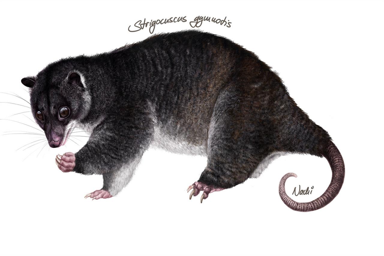 Strigocuscus gymnotis by Nachiii
