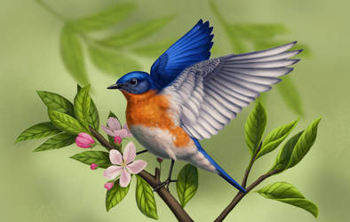 Eastern Bluebird by Nachiii