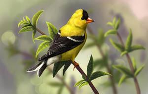 American Goldfinch by Nachiii