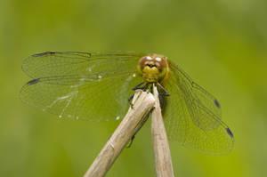 dragonfly3 by Makargina