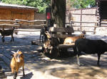 A goat I think by kazikox