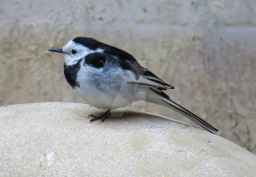 White Wagtail1