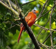 Wierd Bold Northern Cardinal