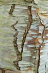 Bark Art VII: Cracked