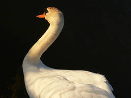 Swan by Sinande
