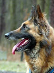 belgian shepherd 007 by yulis