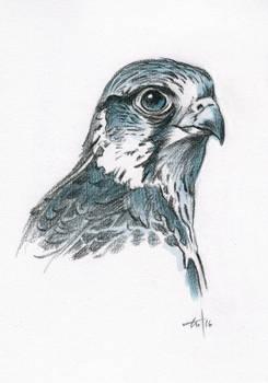 Sketch Hawk (Saker)