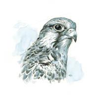 Hawk (Saker) Study by popChar