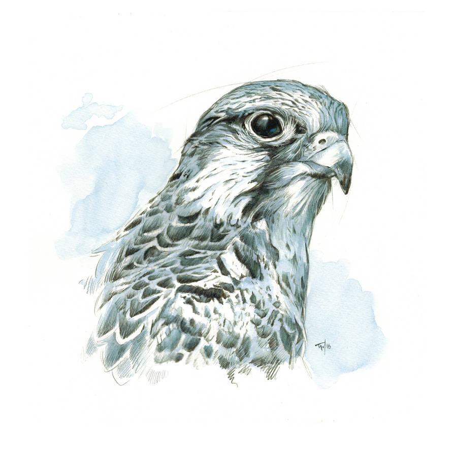 Hawk (Saker) Study