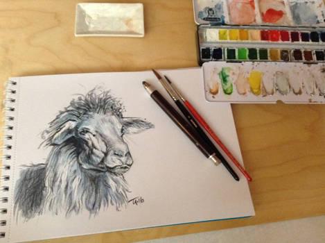 Quick Sketch Sardinian Sheep