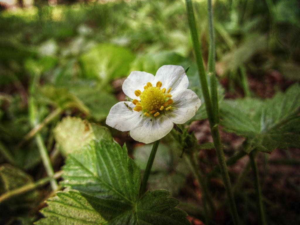 Strawberry Flower by HayashiSorano
