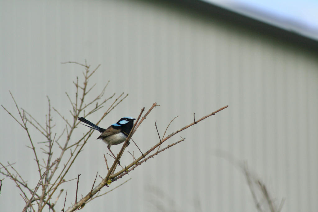 Superb fairywren by Attackoneverything