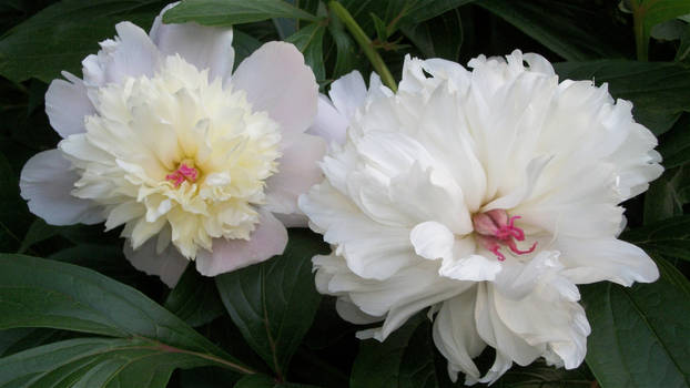 Peonies in May - 2012