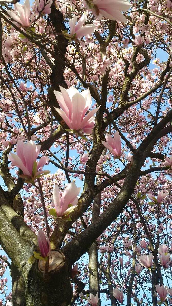 Magnolia ~ by mikan2