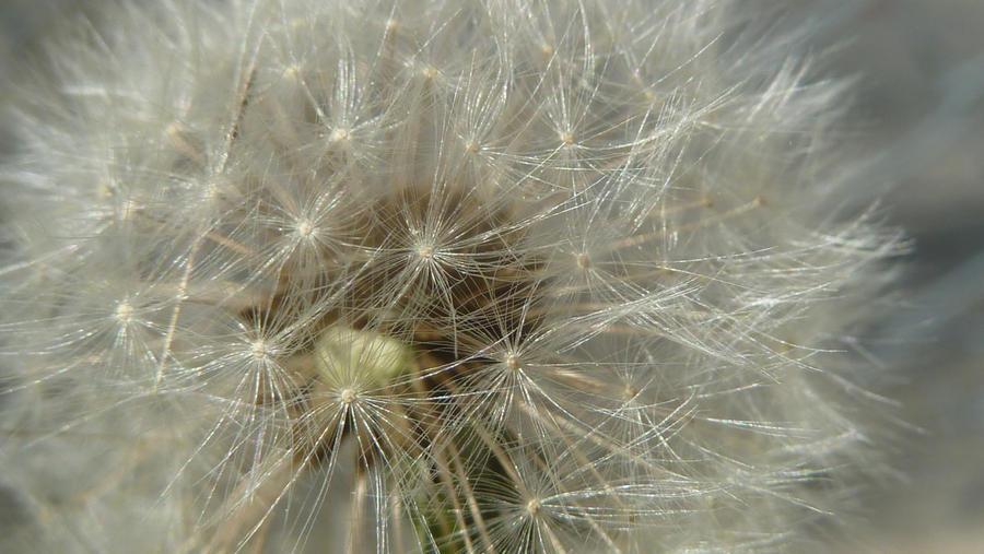 Dandelion Fuzzies II