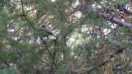 Hidden Bird