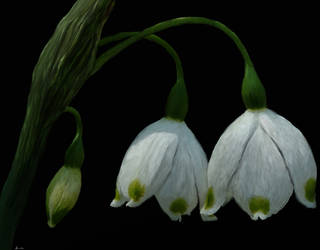 Snowdrops by Bumblewales