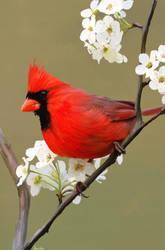 Cardinal by Bumblewales
