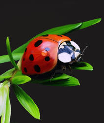 Daily doodle 2 Ladybird by Bumblewales