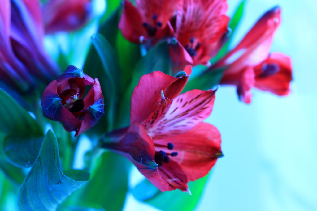 Alstroemeria by midnight-heaven12