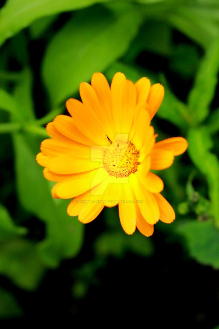 Flower by midnight-heaven12