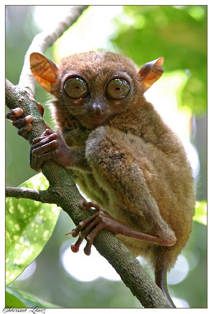 tarsier by CLanez
