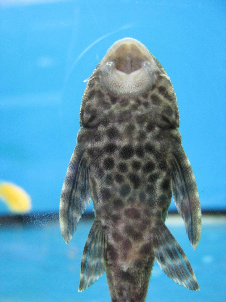 Pesce pulitore pesce pulitore by jhonjjaguar on deviantart for Pesce pulitore acqua dolce