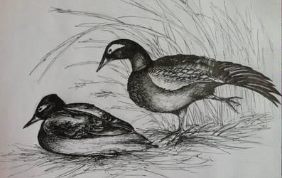Last Flights: Laysan Duck