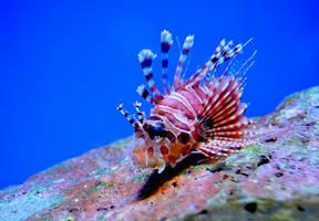 Spotfin Lionfish (Pterois antennata) by Cypselurus