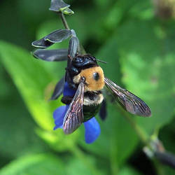 Carpenter Bee by Blueeyes0001