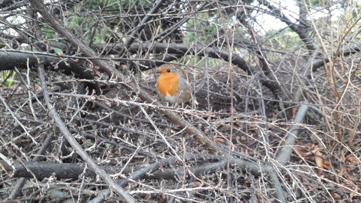 The Watchful Robin by Mr-Earwig