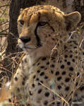 Cheetah stare by warriorbern