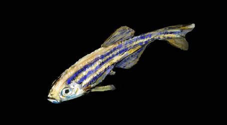 Zebrafish sketch n color