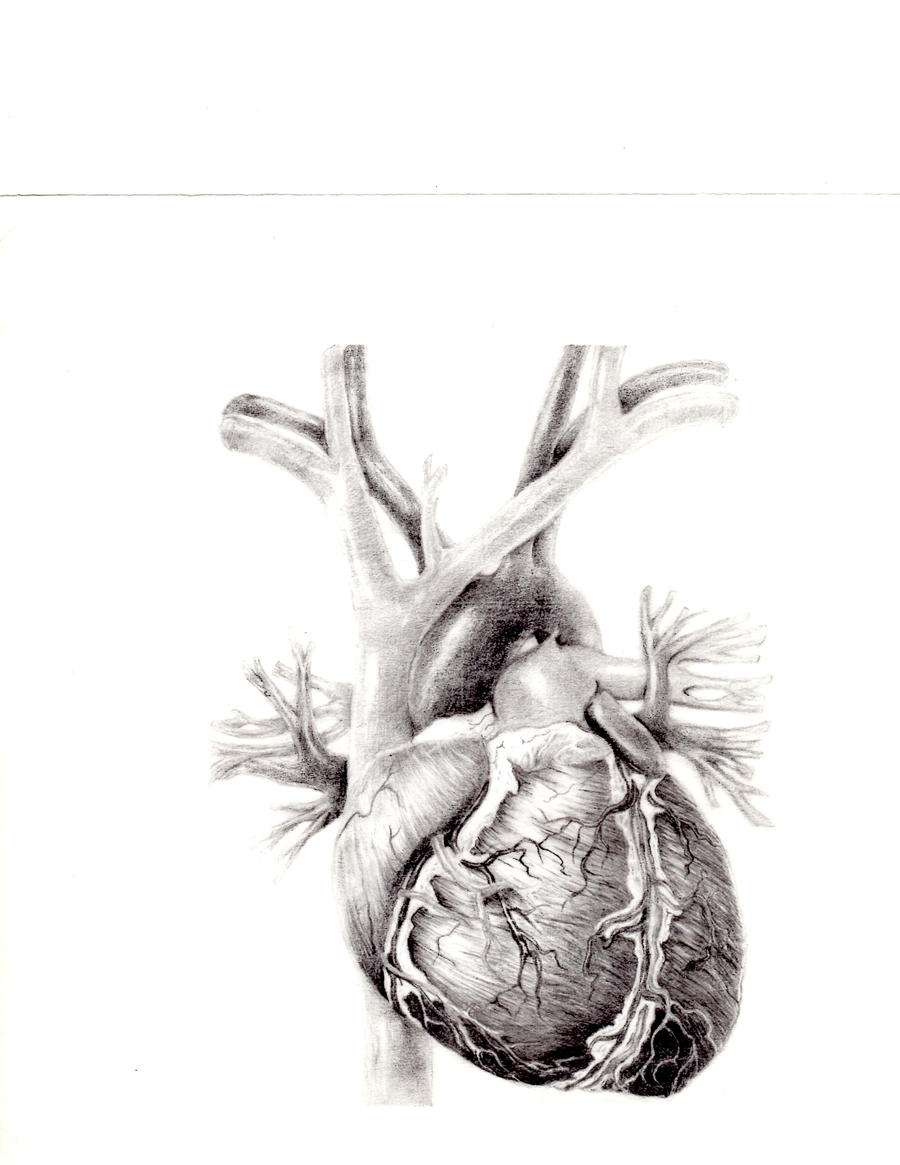 human heart pencil sketch, Muscles