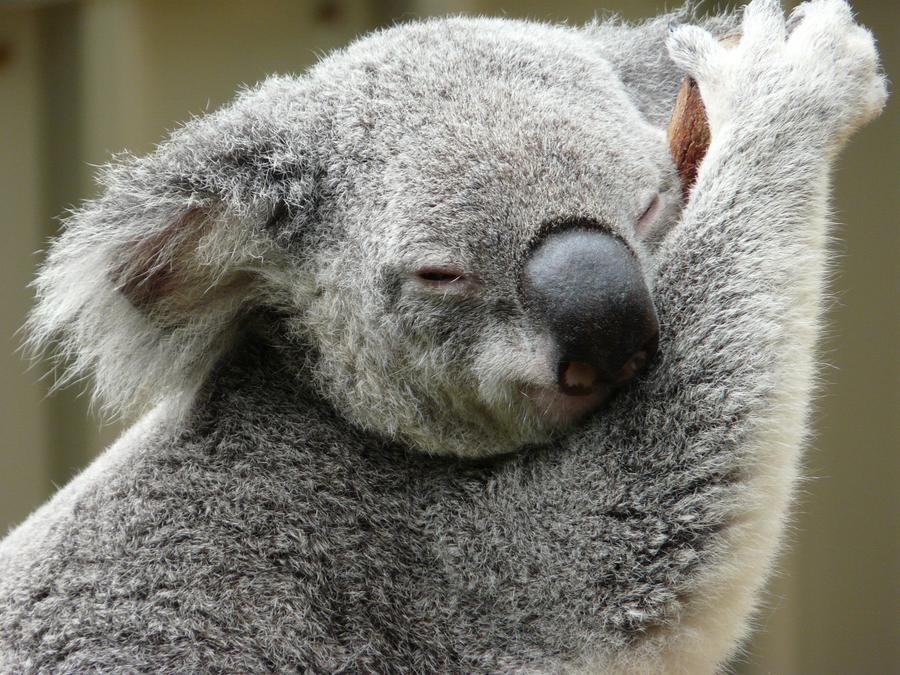 Cuddly Koala by PandaTJ