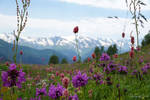 Flowers in the mountains