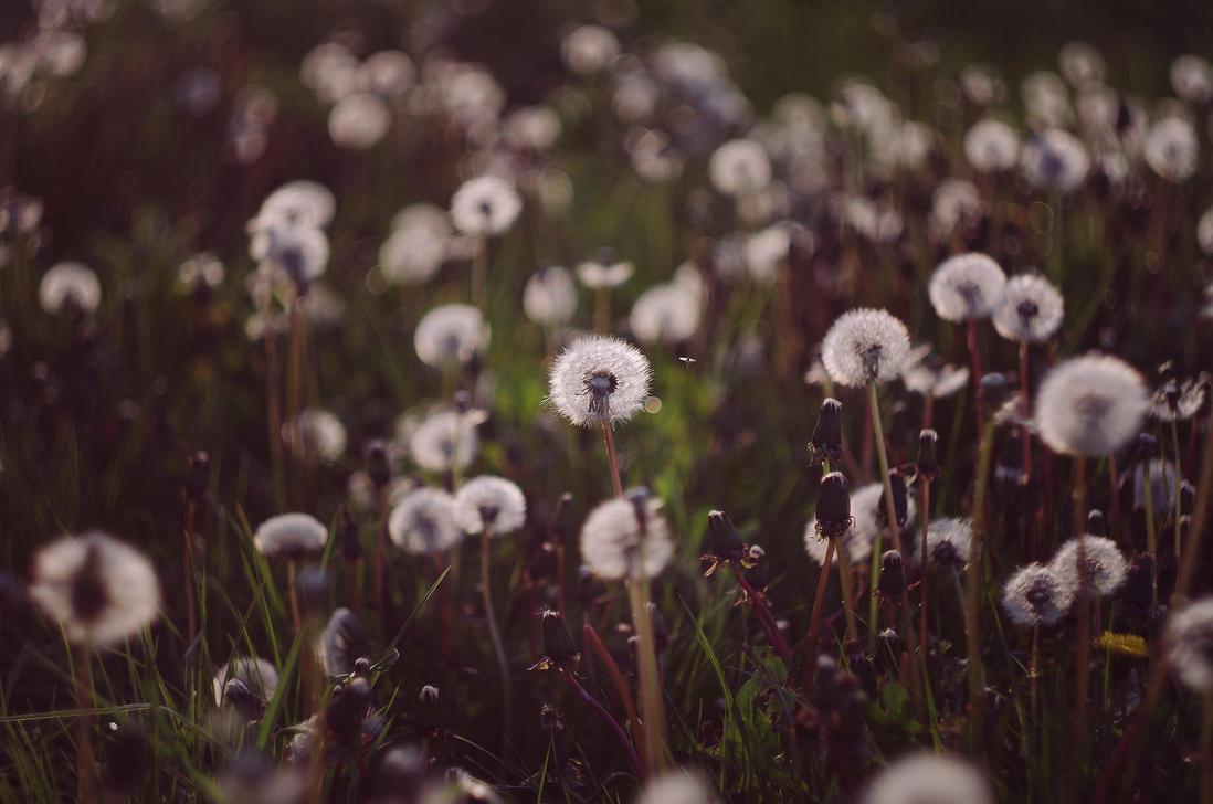 Dandelions by borderone