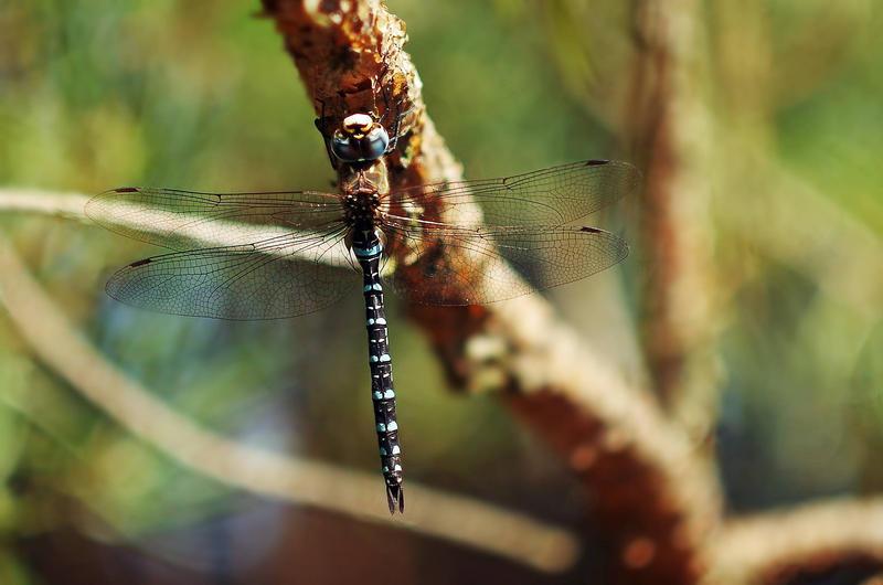 Dragonfly by borderone